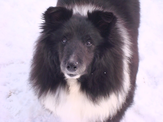 About The Breed Minnesota Sheltie Rescue